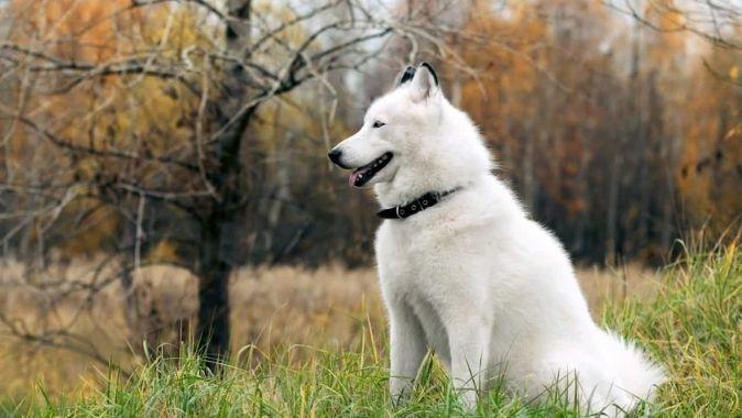 Ảnh đẹp full hd về chó sói